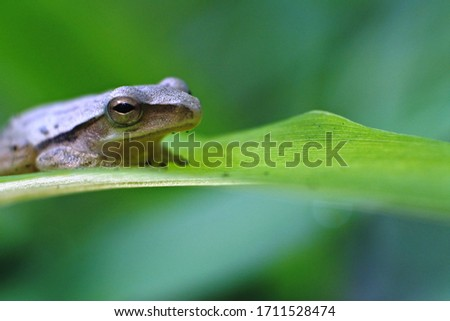 frog is an insect-eating amphibian that lives in fresh water or on land. features a slippery frog, brownish, longer hind legs, good at jumping and swimming #1711528474