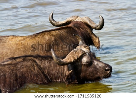 A pair of Cape Buffalo bulls relax in the cool waters of the Kazinga Channel during the heat of the day. They ruminate and chew the cud as they relax to make digestion more efficient #1711585120