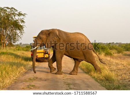 Tourists enjoy a close encounter with an elephant that has been drinking in the Kazinga Channel and heads off to join the rest of the breed herd #1711588567