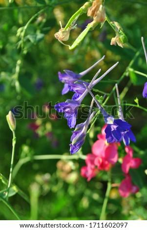 Consolida regalis (Forking Larkspur, Rocket-larkspur, Field larkspur) blue flowers, close up detail, soft greengrass and pink sweet pea flowers blurry bokeh background #1711602097