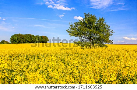 Summer yellow meadow flowers landscape. Lonely tree in yellow meadow flowers. Meadow flowers lonely tree view. Summer meadow flowers tree scene #1711603525