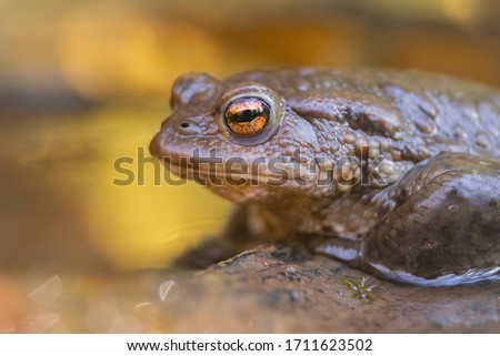 Common toad (Bufo bufo), in nature habitat, Czech Republic. Wildlife scene from nature, brown animal in the wood. Beautiful frog on the ground near the pond in the evening sun.