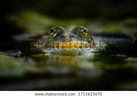 Marsh frog (Pelophylax ridibundus), in nature habitat, Czech Republic. Wildlife scene from nature, green animal in water. Beautiful frog in water near the pond in the evening sun. #1711623670