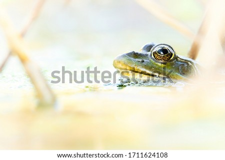 Marsh frog (Pelophylax ridibundus), in nature habitat, Czech Republic. Wildlife scene from nature, green animal in water. Beautiful frog in water near the pond in the evening sun. #1711624108