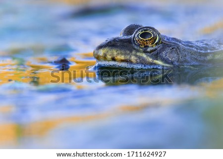 Marsh frog (Pelophylax ridibundus), in nature habitat, Czech Republic. Wildlife scene from nature, green animal in water. Beautiful frog in water near the pond in the evening sun. #1711624927
