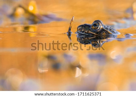 Marsh frog (Pelophylax ridibundus), in nature habitat, Czech Republic. Wildlife scene from nature, green animal in water. Beautiful frog in water near the pond in the evening sun. #1711625371