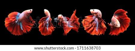 Betta fish, siamese fighting fish, betta splendens isolated on black background, fish on black background, Multi color Siamese fighting fish, #1711638703