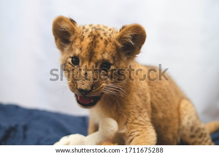 Close-up photo of a growling lion cub at home