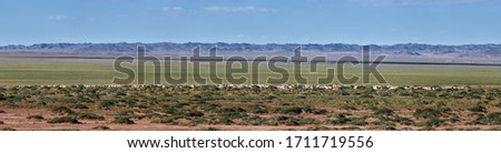 Sheep and goats on a pasture in Mongolia. Panorama of the pasture. Source of meat, milk and wool. Goat cashmere and cheese are a favorite souvenir of tourists. #1711719556