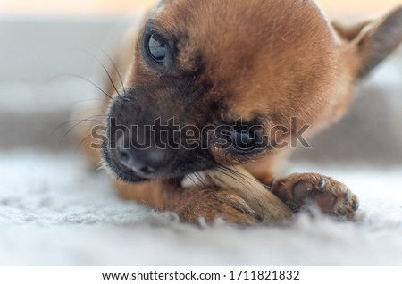 Closeup of a brown chihuahua chewing a natural deer antler. Selective focus on paw and antler. Royalty-Free Stock Photo #1711821832