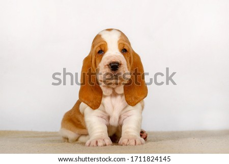 Cute and funny Basset Hound puppy. #1711824145