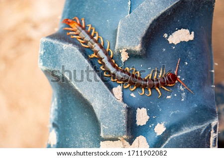 Centipedes are poisonous animals. Able to bite and release poison to enemies, it climbs on wheels of tractors Royalty-Free Stock Photo #1711902082