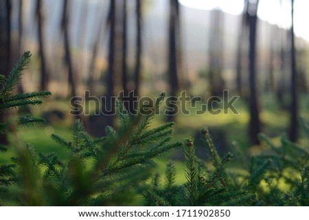Green pine branches with defocused forest background. #1711902850
