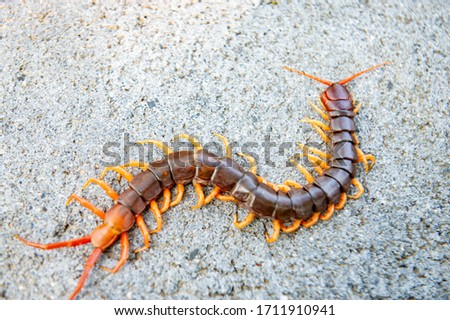 Centipedes are poisonous animals. Able to bite and release the poison, it climbs on the concrete floor Royalty-Free Stock Photo #1711910941