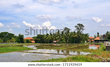Rice Terrace in Ubud- after harvest , Bali, Indonesia #1711929619
