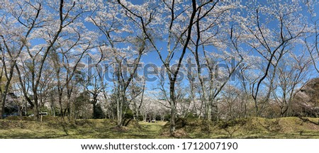 Wonderful panoramic view, park of Japan's most appreciated flower, amid the mountains. Cherry blossom, the white Sakura contrasting with the blue sky. Kameyama, Mie, Japan. April 2020, spring.