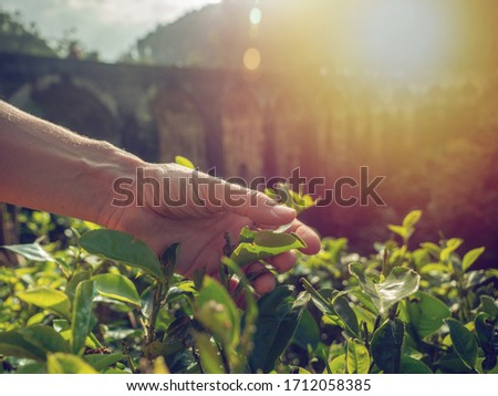 Woman hand touching tea plantation leaves in sunset light under old train bridge in Sri Lanka caring about nature and agriculture. Girl caressing plants with hand #1712058385