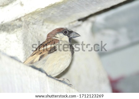 A great looking indian little sparrow in gray color feathers  over a roof of a door in my house. Shy creature is small and fast
