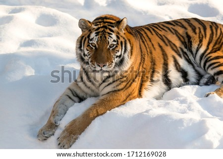 one Siberian tiger in winter  #1712169028