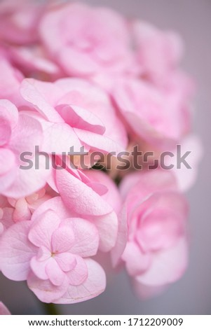 Macro photo of hydrangea flower. Details of pink petals. Beautiful colorful pink texture of flowers for designers. Hydrangea.