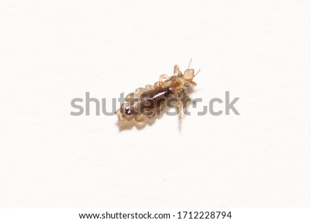 Blurred louse or lice macro on white paper background, louse bite on head kids, lice is vector of diseases, typhus, chewing lice live among the hairs of children, louse in parasite sucking blood child