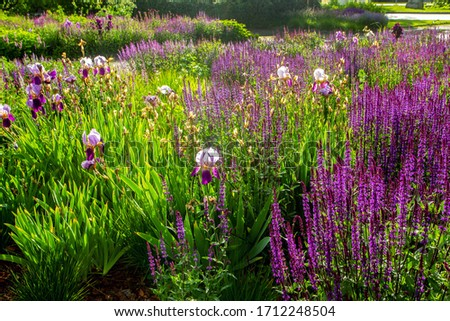 Fantastic nature in Muzeon par,k, Moscow, Russia - purple flowers- sages and  irises at summer. Downtown of Moscow  #1712248504