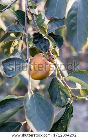 Full of ripe golden persimmon trees #1712394292