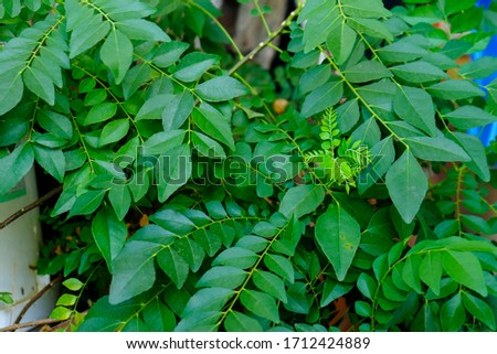 A picture of  fresh curry leaves at herbs garden.