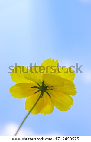low angle view yellow flower under blue sky. Cosmos sulphureus. sulfur cosmos. yellow cosmos. for background and wallpaper #1712450575