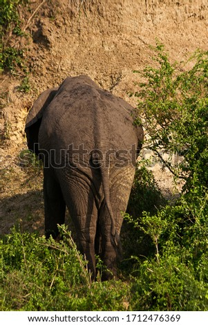 A solitary elephant bull dozes in the scrub around the Kazinga Channel after drinking his fill and resting before resuming his quest to find sufficient food during the hard times of the dry season #1712476369
