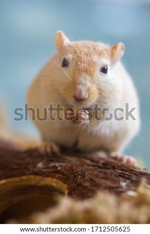 Mongolian gerbils (Meriones) as pet