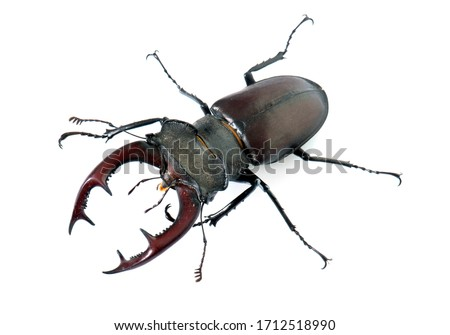Lucanus cervus in front of white background Royalty-Free Stock Photo #1712518990