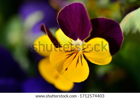 Garden pansy flower in spring close up