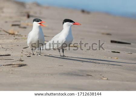 Two Caspian Terns are standing on the beach. Wasaga Beach Provincial Park, Wasaga Beach, Ontario, Canada. Royalty-Free Stock Photo #1712638144