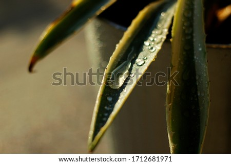 Rain drops on the aloe plant #1712681971