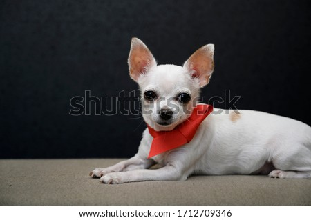 A beautiful young chihuahua dog lies sideways on a gray sofa with a bright red ribbon tied around its neck in the form of a small tie and looks carefully at the camera. Close-up, studio