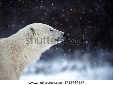 This is a picture of a Polar bear