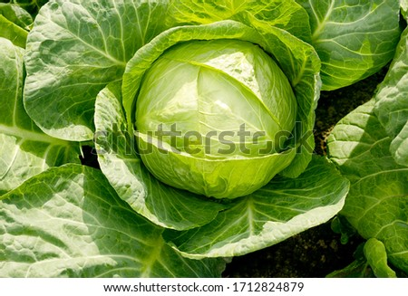 Agriculture. White cabbage head grow in the garden. Healthy and healthy food for humans. Top view. Field. Close-up. Summer background #1712824879