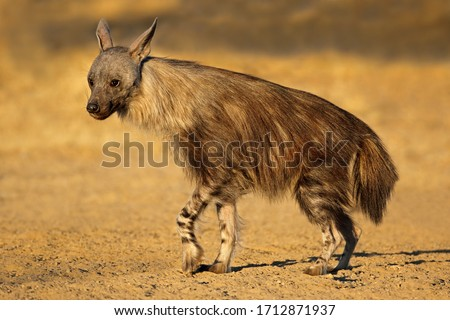 An alert brown hyena (Hyaena brunnea), Kalahari desert, South Africa