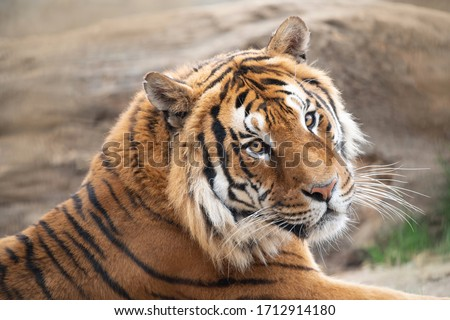 Portrait of male tiger, zoo Royalty-Free Stock Photo #1712914180
