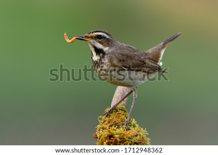 Happy bird with fresh meal worm in its beaks as big supper before dark, female bluethroat