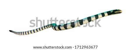 Banded Sea Snake (Krait) isolated on white background #1712963677