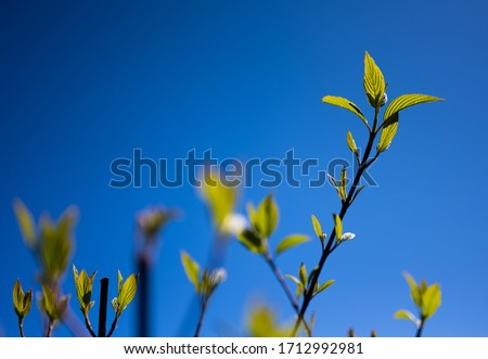 Backlit Newborn Leaves on Branch with Blue Sky in the Background #1712992981