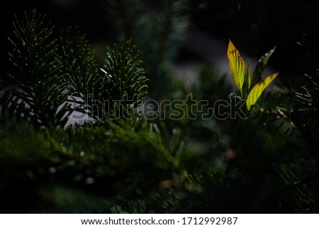 Backlit Sprouting Leaves with Pine Tree #1712992987