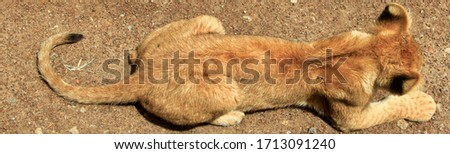 A lion cub lies stretched out on dark brown sand, a picture of the complete small animal from above