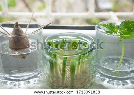 Growing green onions scallions from scraps by propagating in water in a jar on a window sill, basil rooting in water and avocado growing from seed with toothpicks for support #1713091858