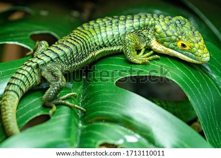 Abronia Graminea Mexican Alligator Lizard Royalty-Free Stock Photo #1713110011
