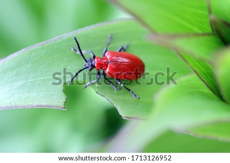 The scarlet lily beetle, red lily beetle, or lily leaf beetle (Lilioceris lilii), is insect eats the leaves, stem, buds, and flower, of lilies, fritillaries and other of the family Liliaceae. Royalty-Free Stock Photo #1713126952