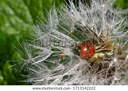 A red ladybug sits on a center of dandelion flower and basks in the spring sun. Summer morning. Cute and beautiful macro for wallpaper or photo picture.