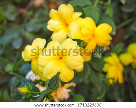 Primrose Jasmine or Jasminum mesnyi, bright yellow flowers, close up. Japanese or Chinese jasmines is woody vine, deciduous shrub, evergreen, flowering plant in the olive family, Oleaceae, Jasmineae. #1713229696